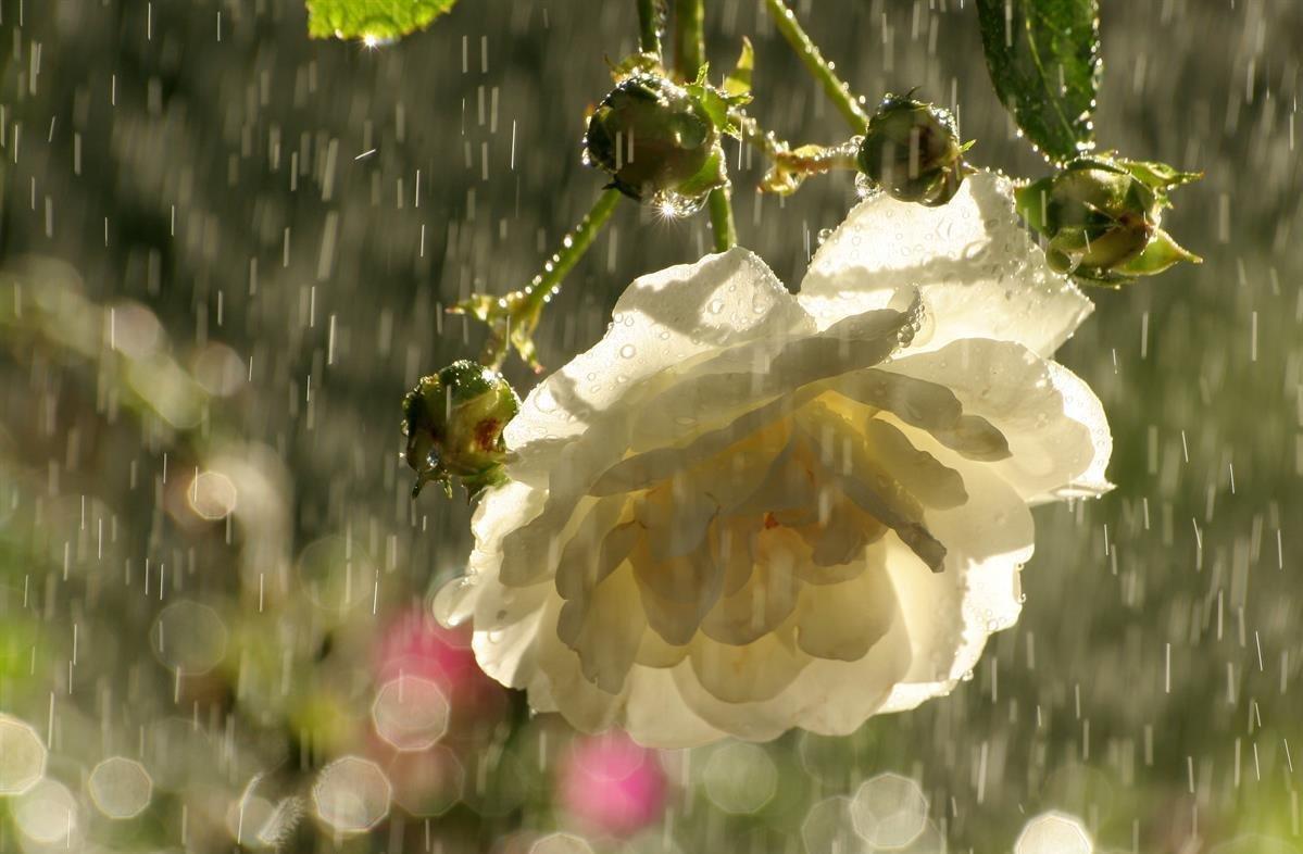 вышивать картинки дождь и белая роза жаждой