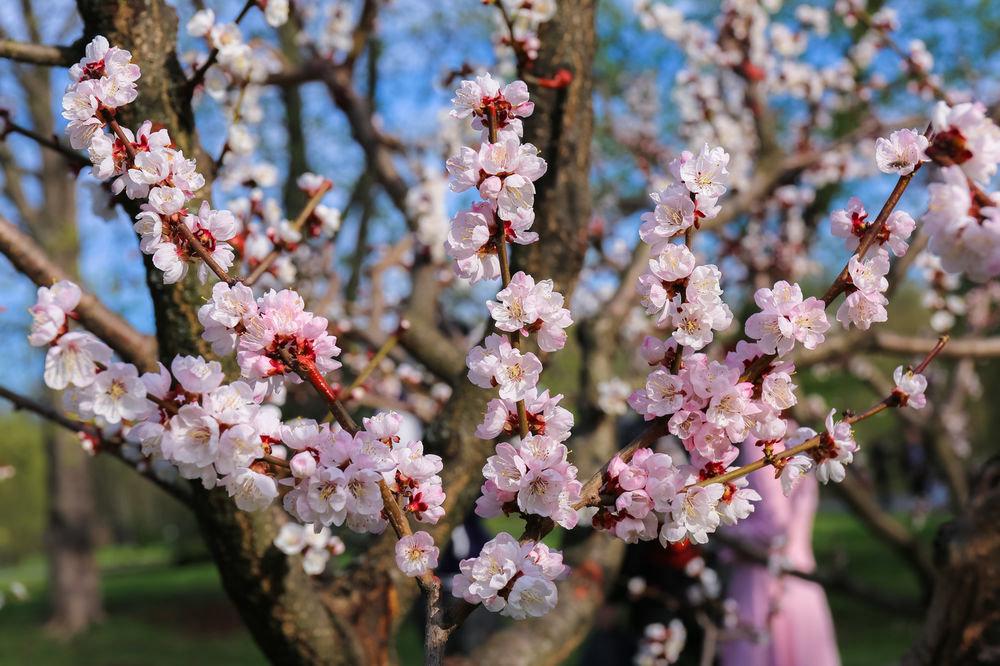 прошол весенние цветущие деревья фото и названия самой
