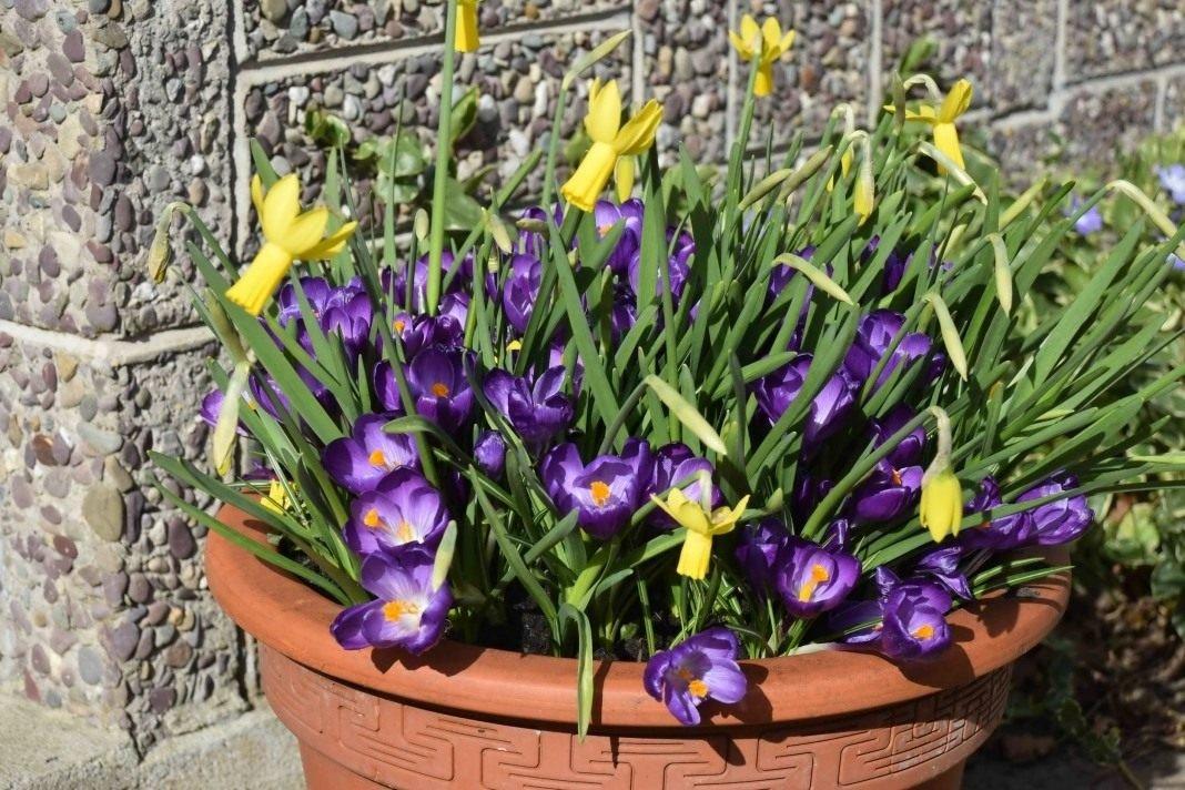 Тюльпаны крокусы нарциссы композиции фото