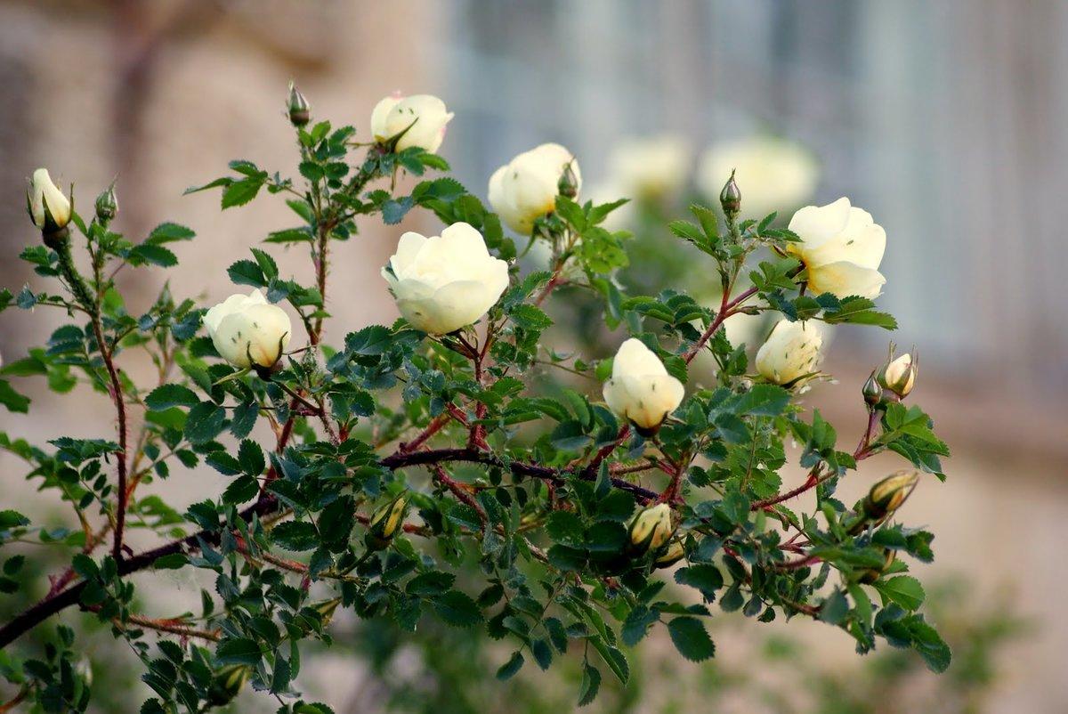 картинки с дикими розами лучшей покупуой