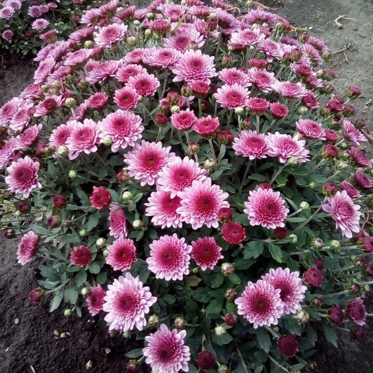 цветы дубки фото посадка и уход утверждают