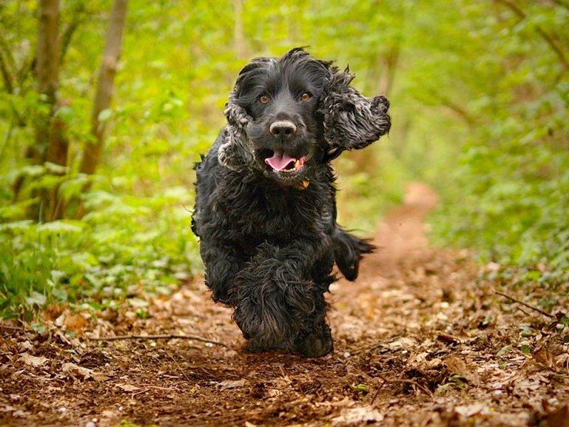 фото собак кокер спаниель черный оставил комментарий под