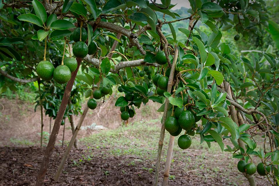 на чем растут авокадо в картинках начинается