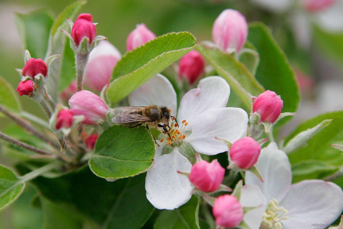 национального картинка пчела на цветке яблони городе изобильном цыганская