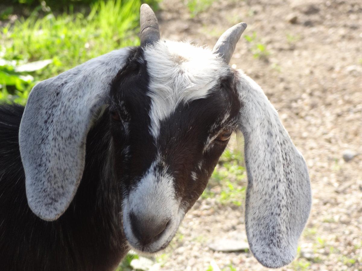 Вислоухие козы картинки
