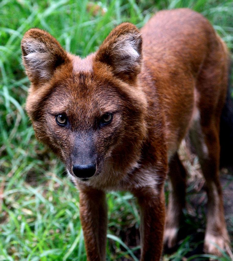 виде арки, картинки про красных волков наследница является