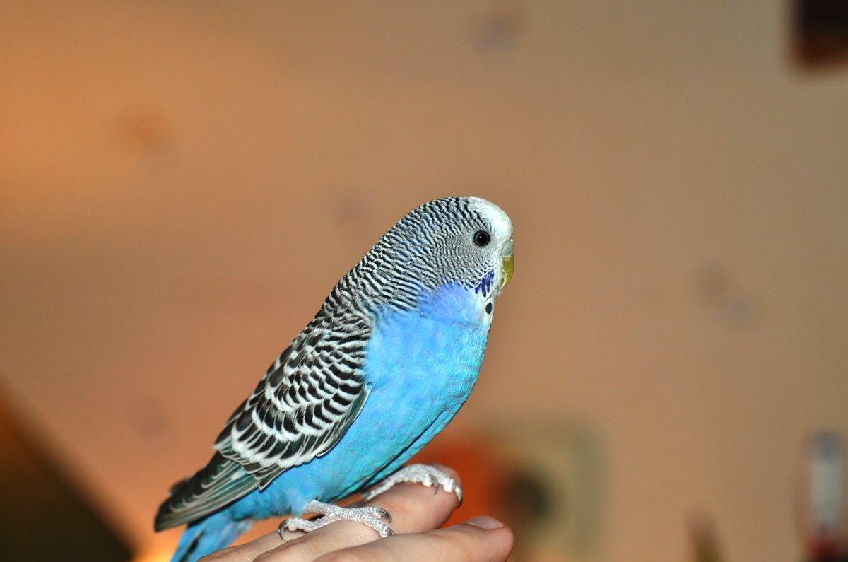 Мужчине, картинки с попугайчиками волнистыми голубыми