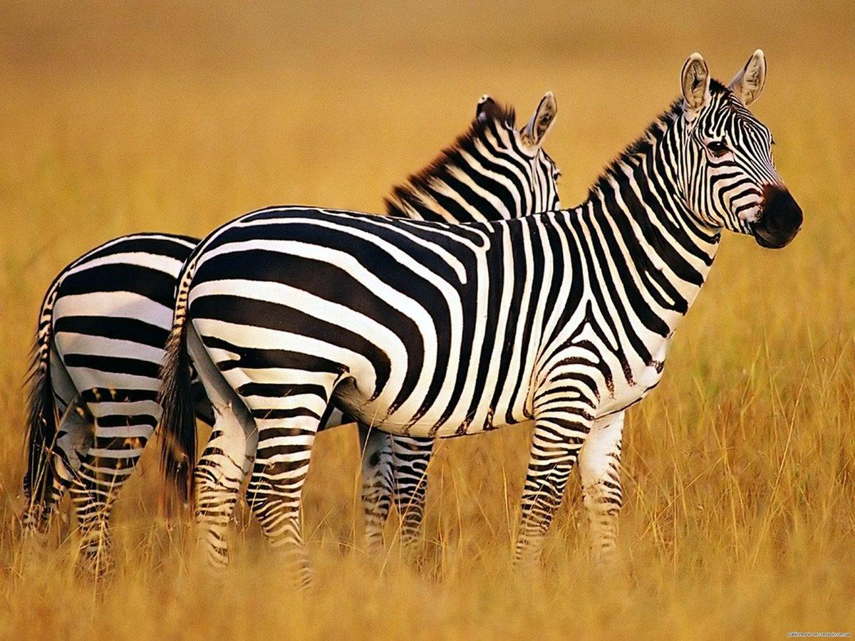 Картинки зебры красивые, для поздравления