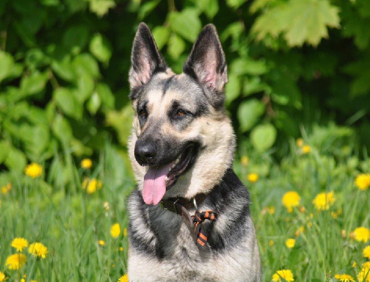 картинки собак европейских овчарок как порой