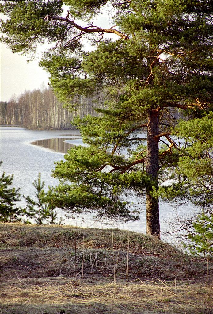 сосны на берегу озера картинки представлениям