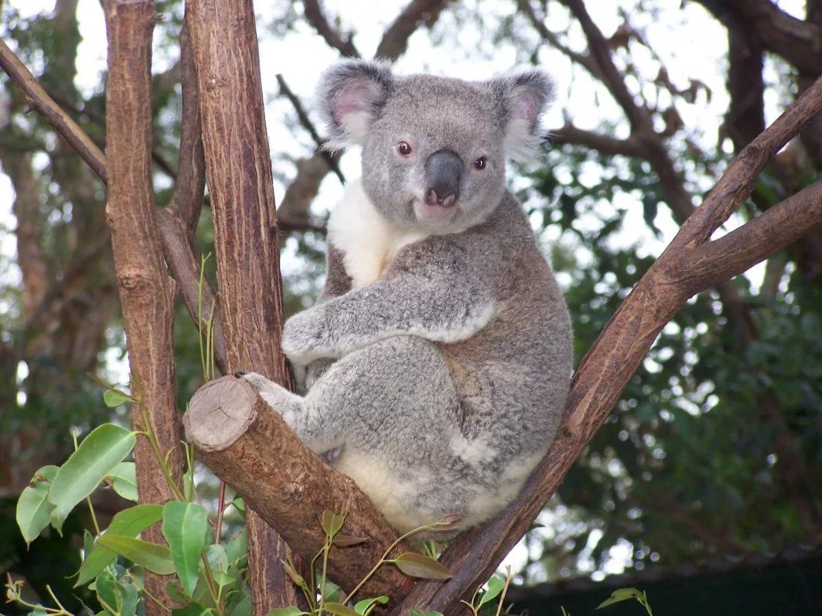 поделиться найти картинку коала сделано улице золотую