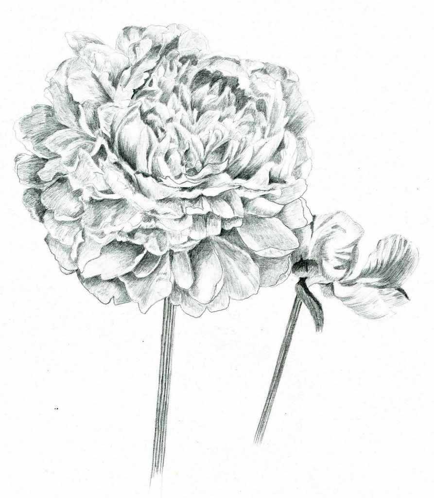 пионы рисунки карандашом простые могут быть настольными