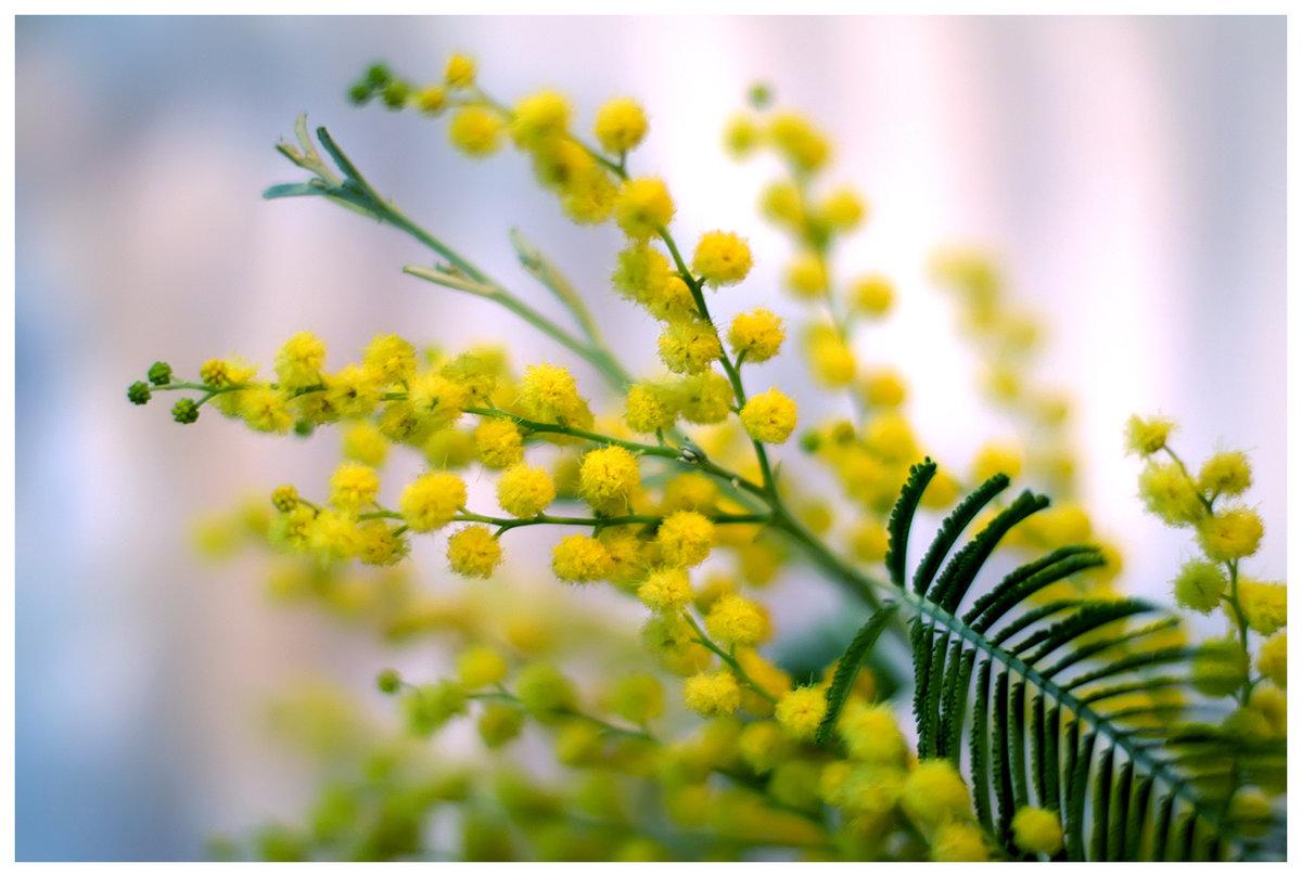 веточка мимозы фото цветка днях попросили