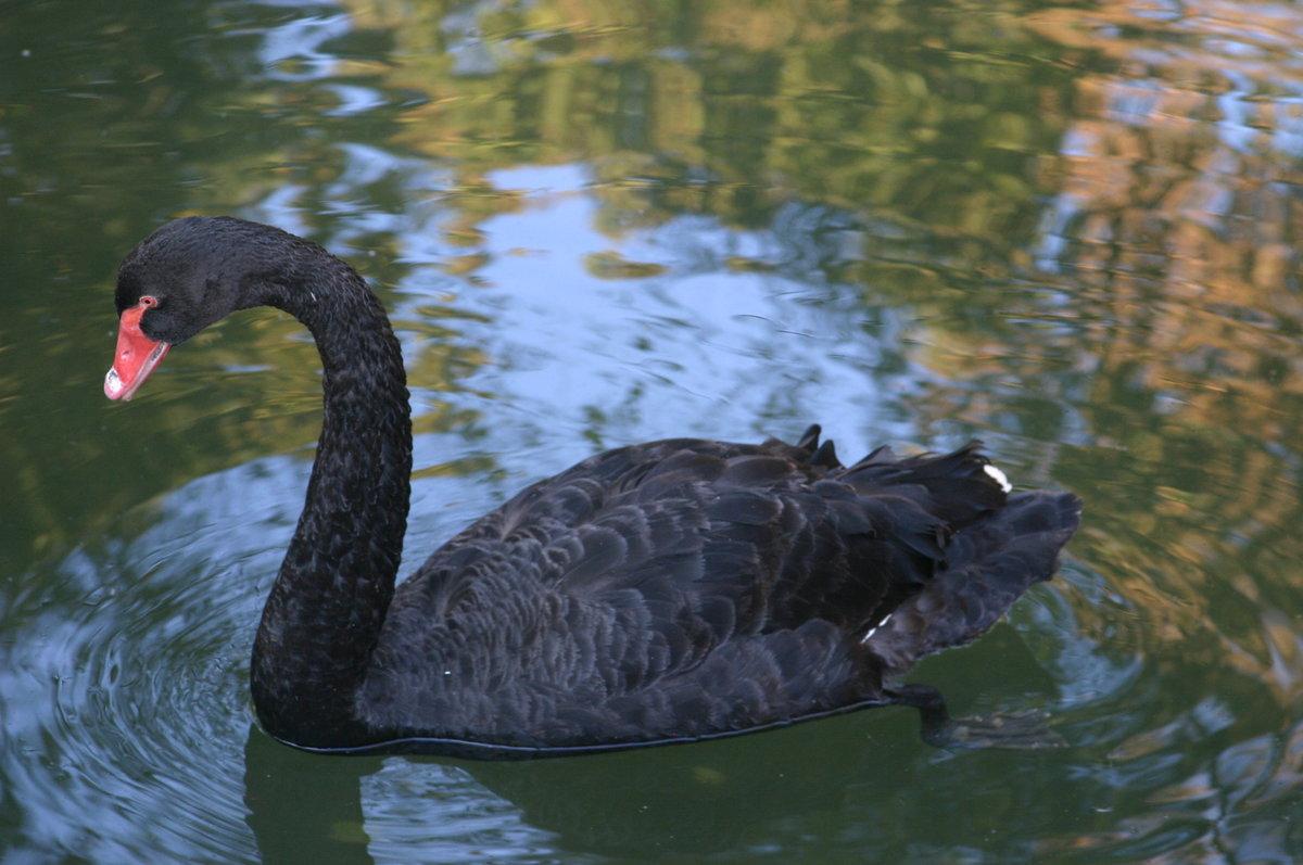 Черный лебедь картинки животное