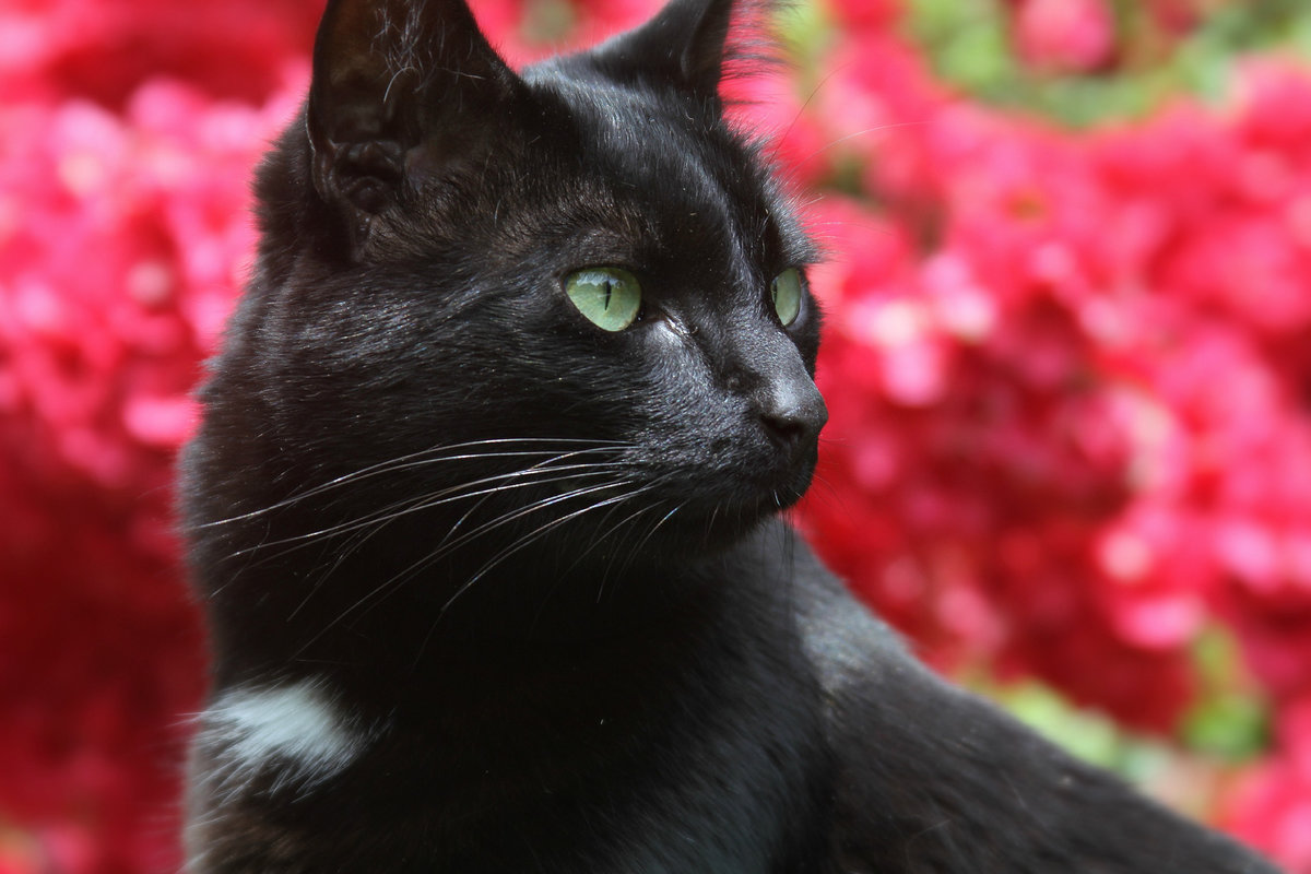 Черная кошка картинка