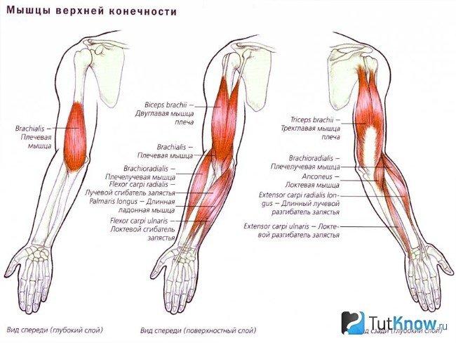 Мышцы локтевого сустава болезнь суставов ног молодняка жвачных ног