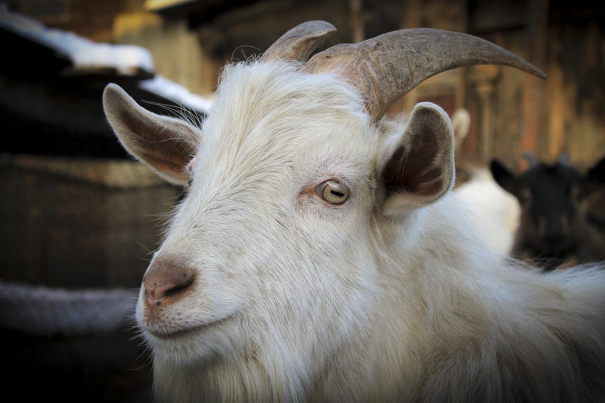 Картинки белок козы