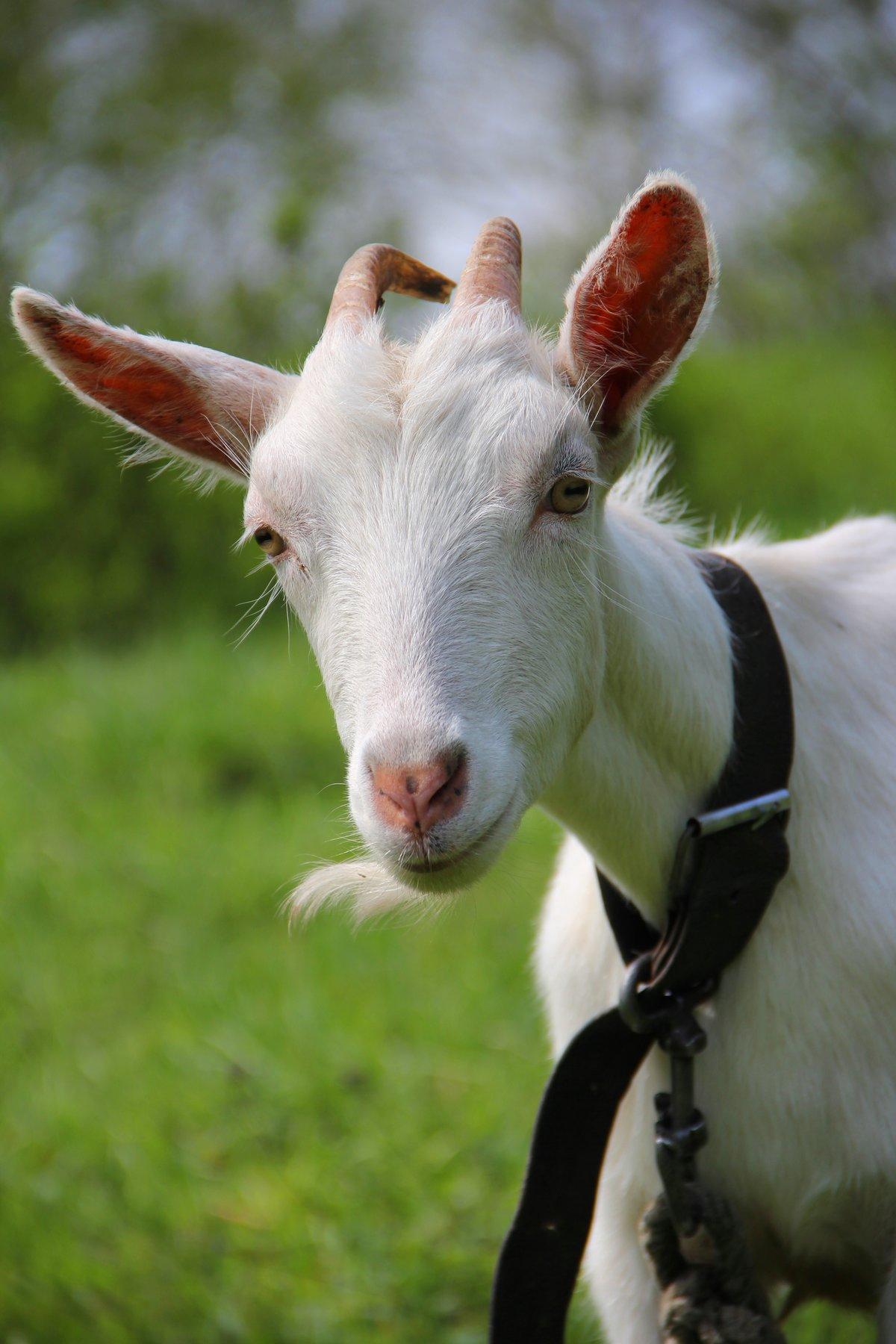 Картинки про козу типовом