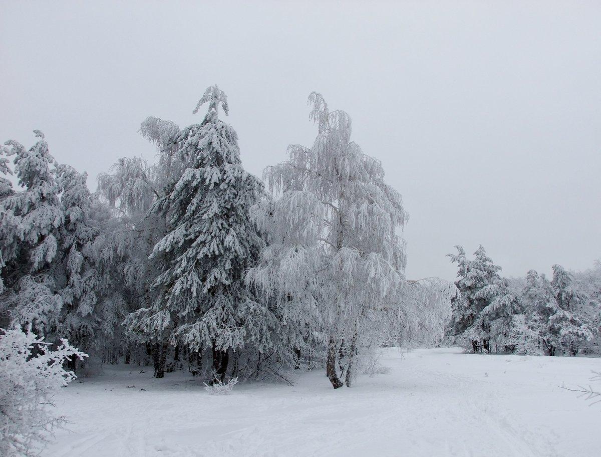 Картинка береза и ель зимой