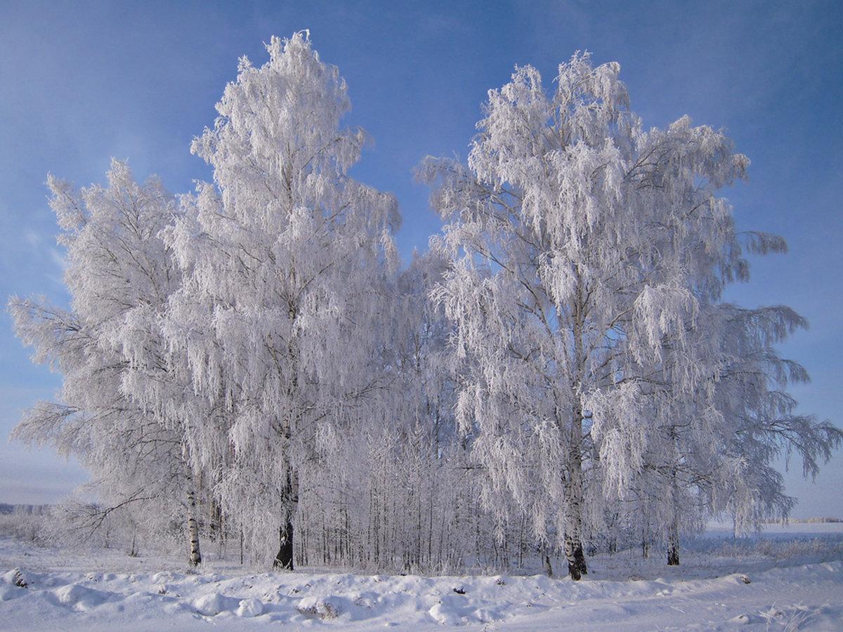 картинка березы в снегу относительно молодой город