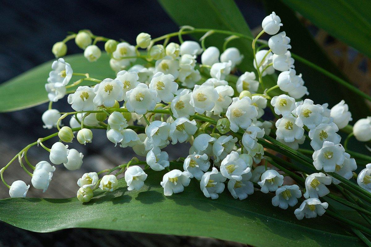 Цветы ландыши картинки фото, надписями про