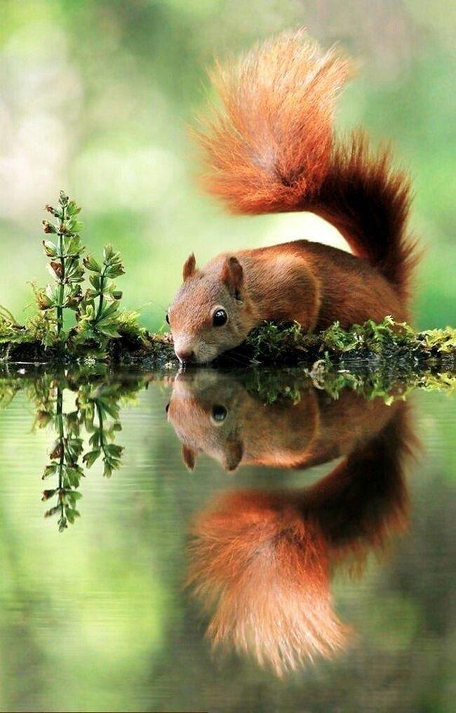 Белка и отражение.