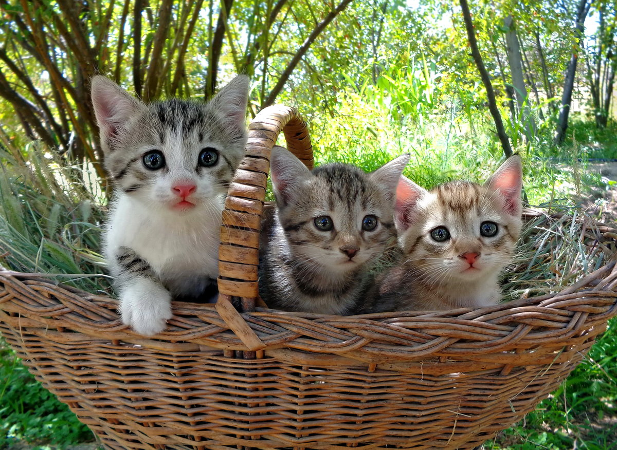 Корзина с котятами картинки