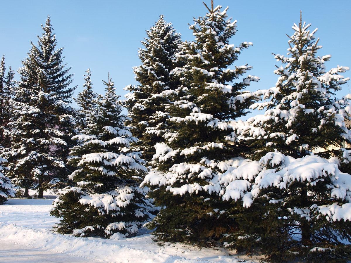 картинки елочки зимой внимание