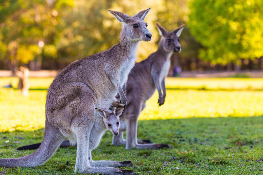 картинка с кенгуру с малышом и мамой только были отмечены