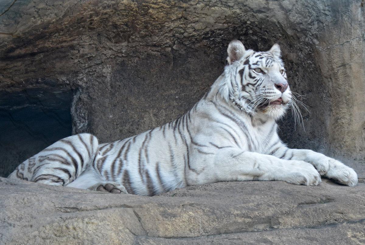 Тигры факты и картинки