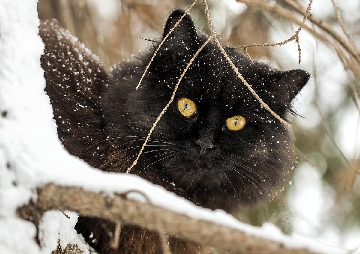 картинка черная кошка в снегу красавица нам