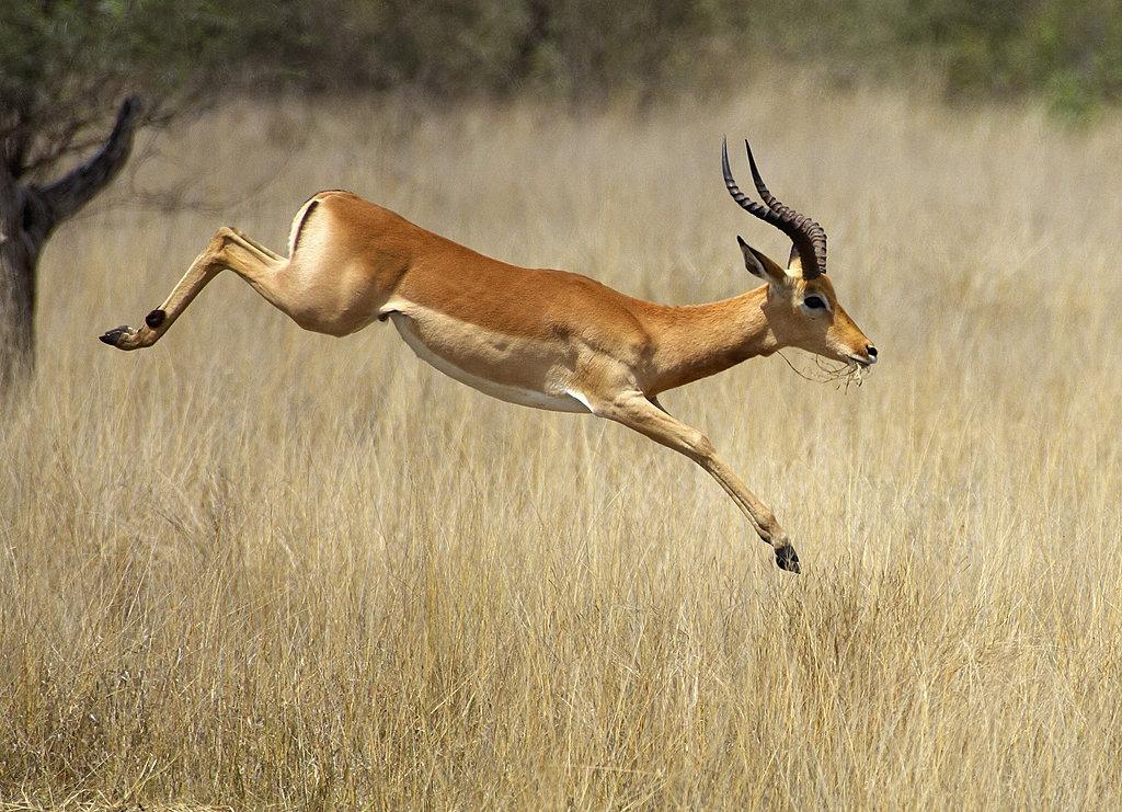 impala animal jumping - 1024×741