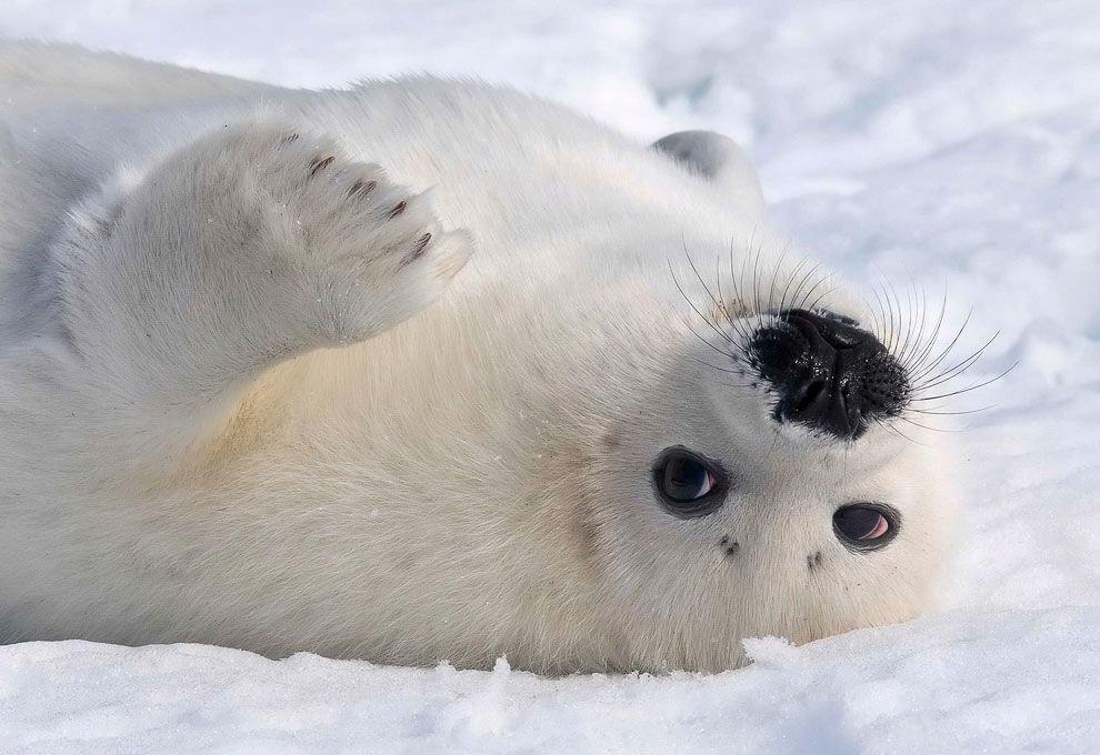 Фото гренландского тюленя