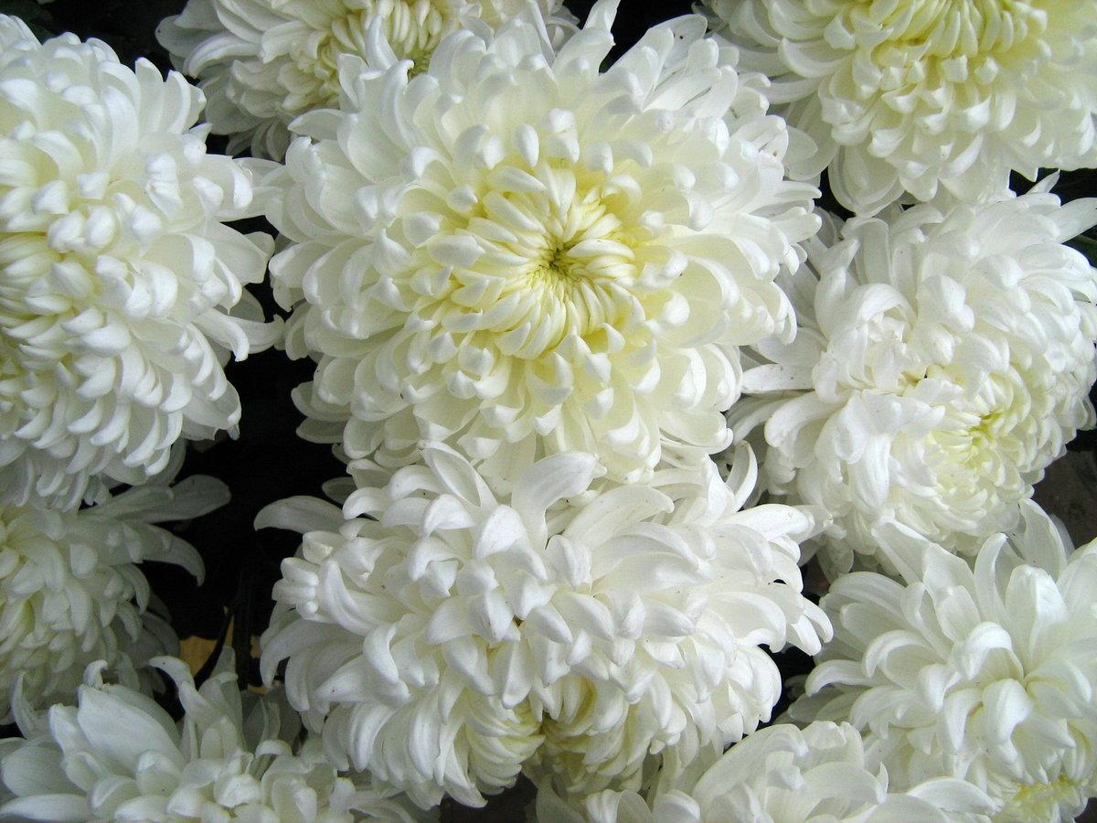 Днем, картинки хризантемы в хорошем качестве