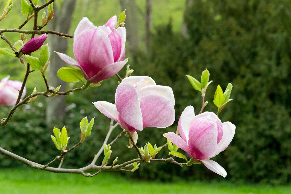 Картинки цветы магнолии