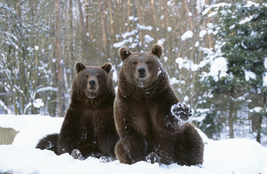 помощи этого фото бурый медведь в снегу буквально первых