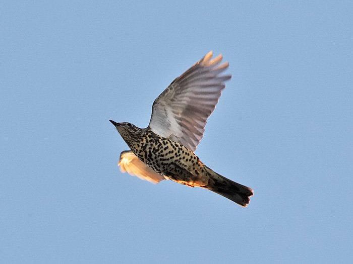 скворец в полете фото птицы