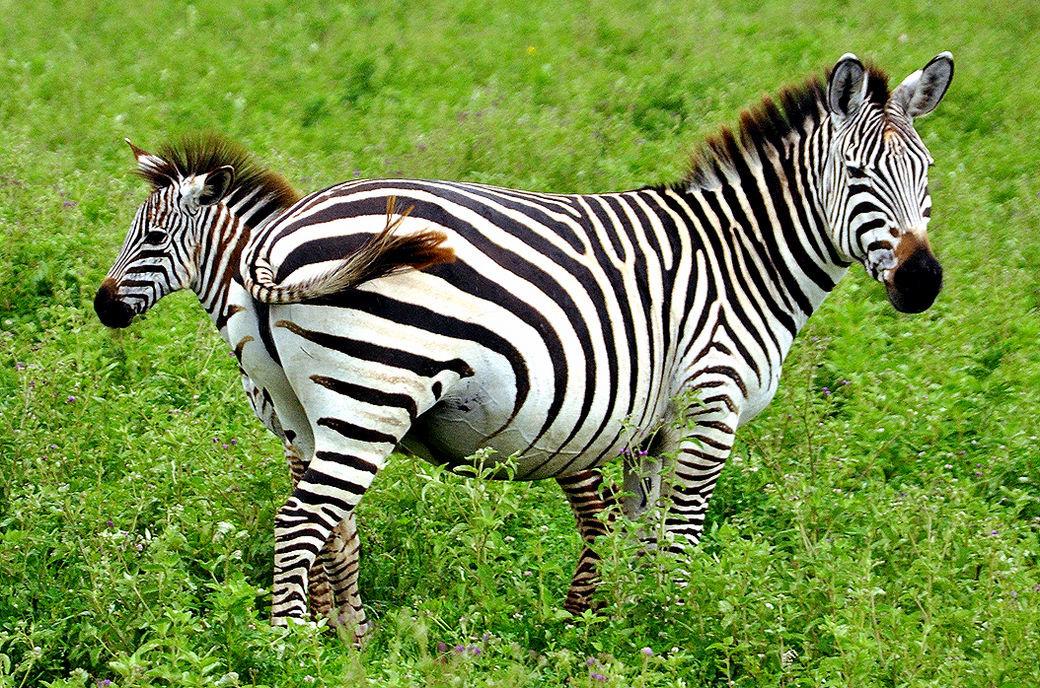 Сделать большую, картинка зебра с детенышем
