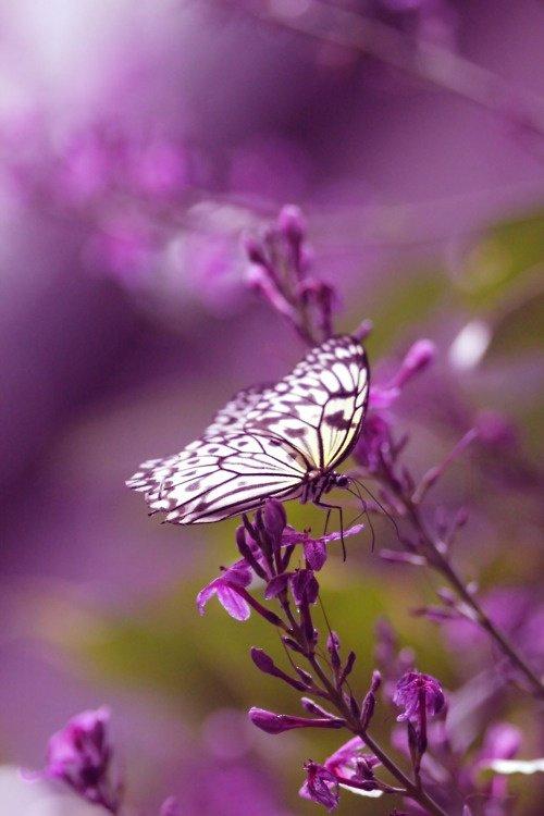 Картинки сиреневые цветы с бабочками