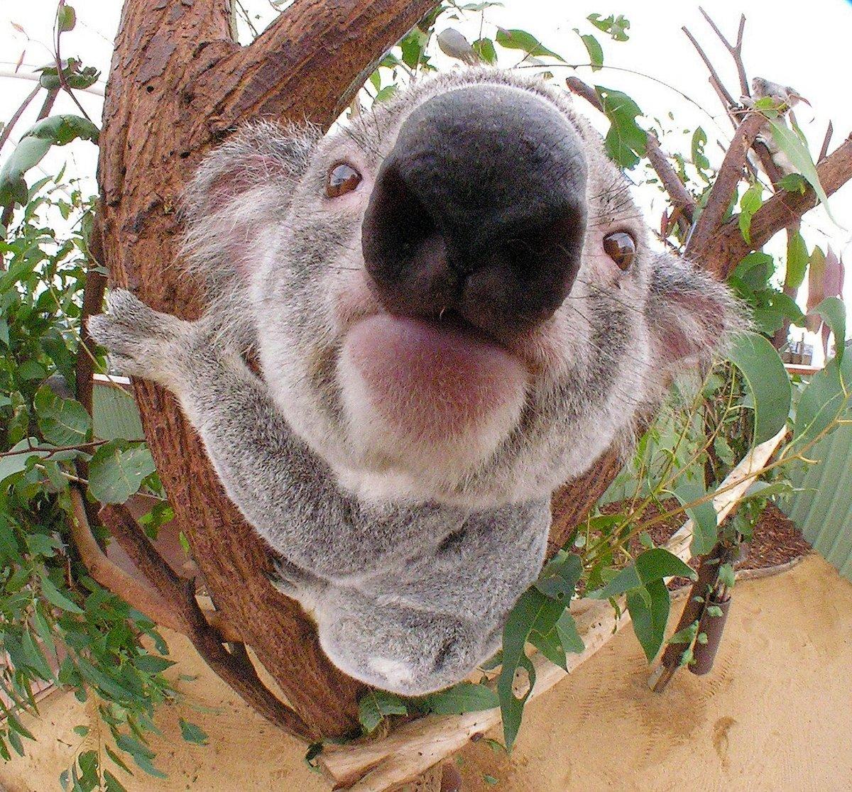 Прикольные картинки с коала, обожаю