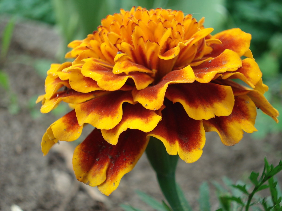 показать фото цветка аксамитка тимберленды