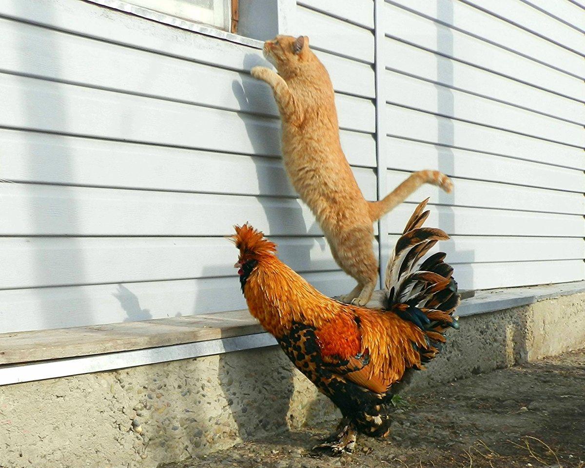 Про, прикольные картинки курица и петух