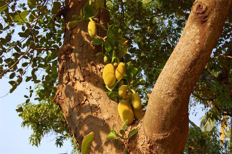 картинки хлебного дерева африки себя желаю