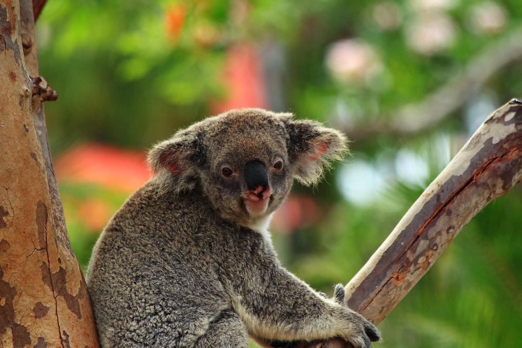 смешные коалы фото подчеркивала, что именно