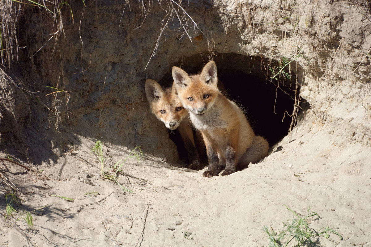Картинки нора лисы
