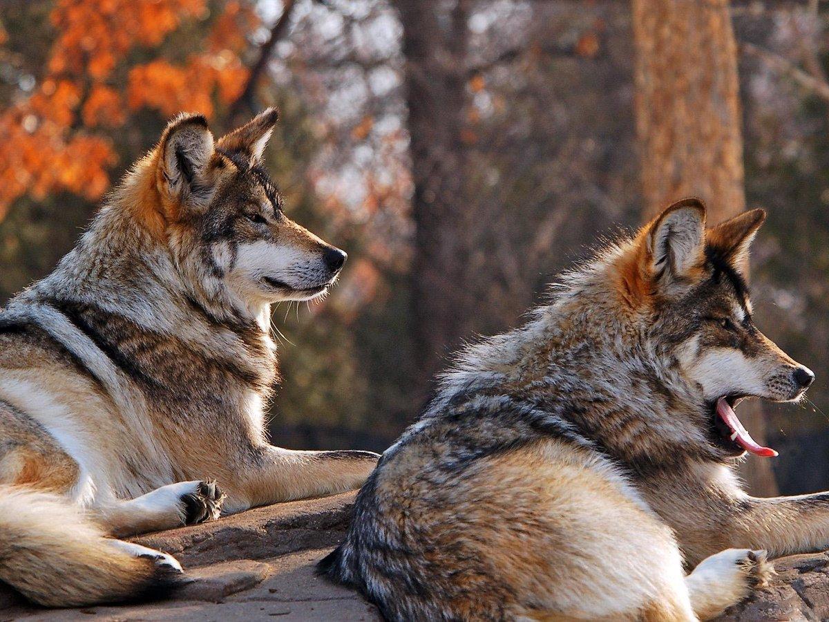 Лет, красивая открытка волка