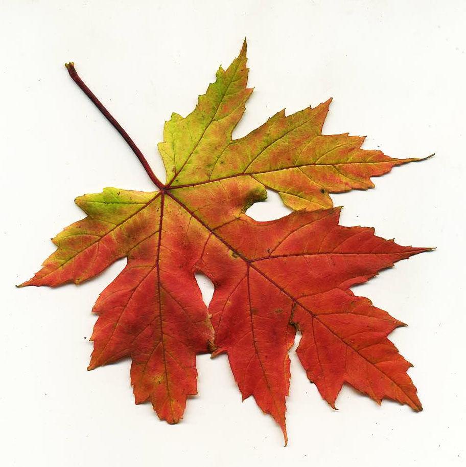 Клиновые листы картинки
