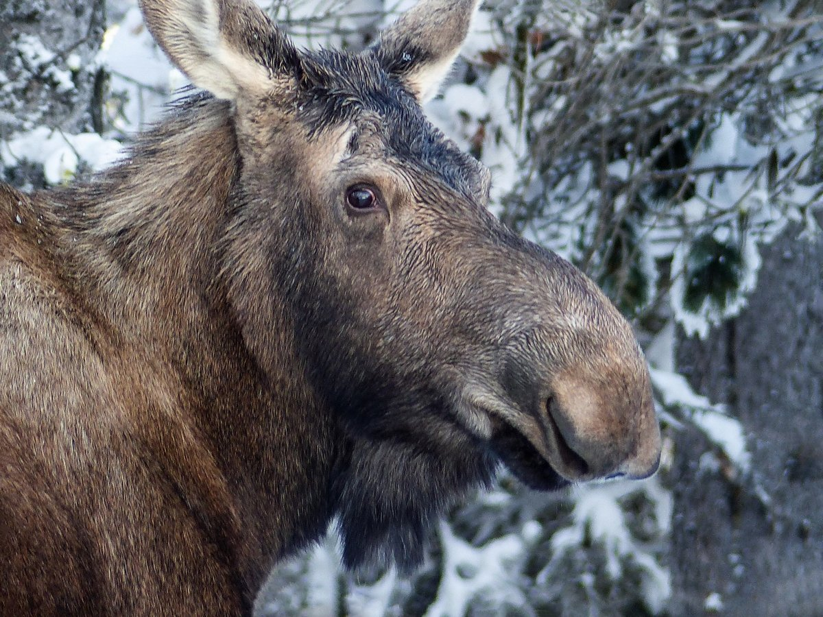 онлайн фото морды лосей выпускается территории нашей