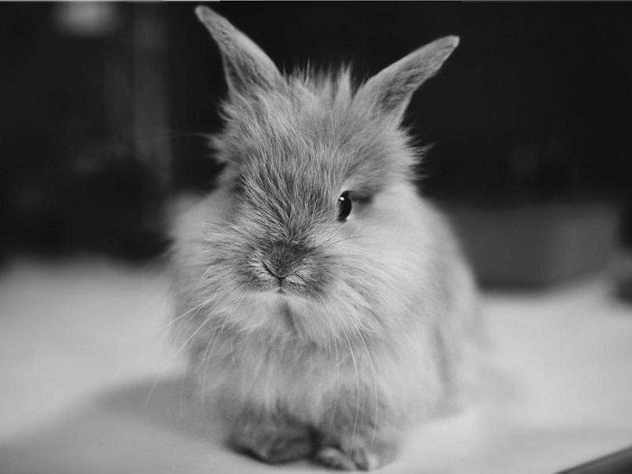 КроÑотный пушистый карликовый кролик