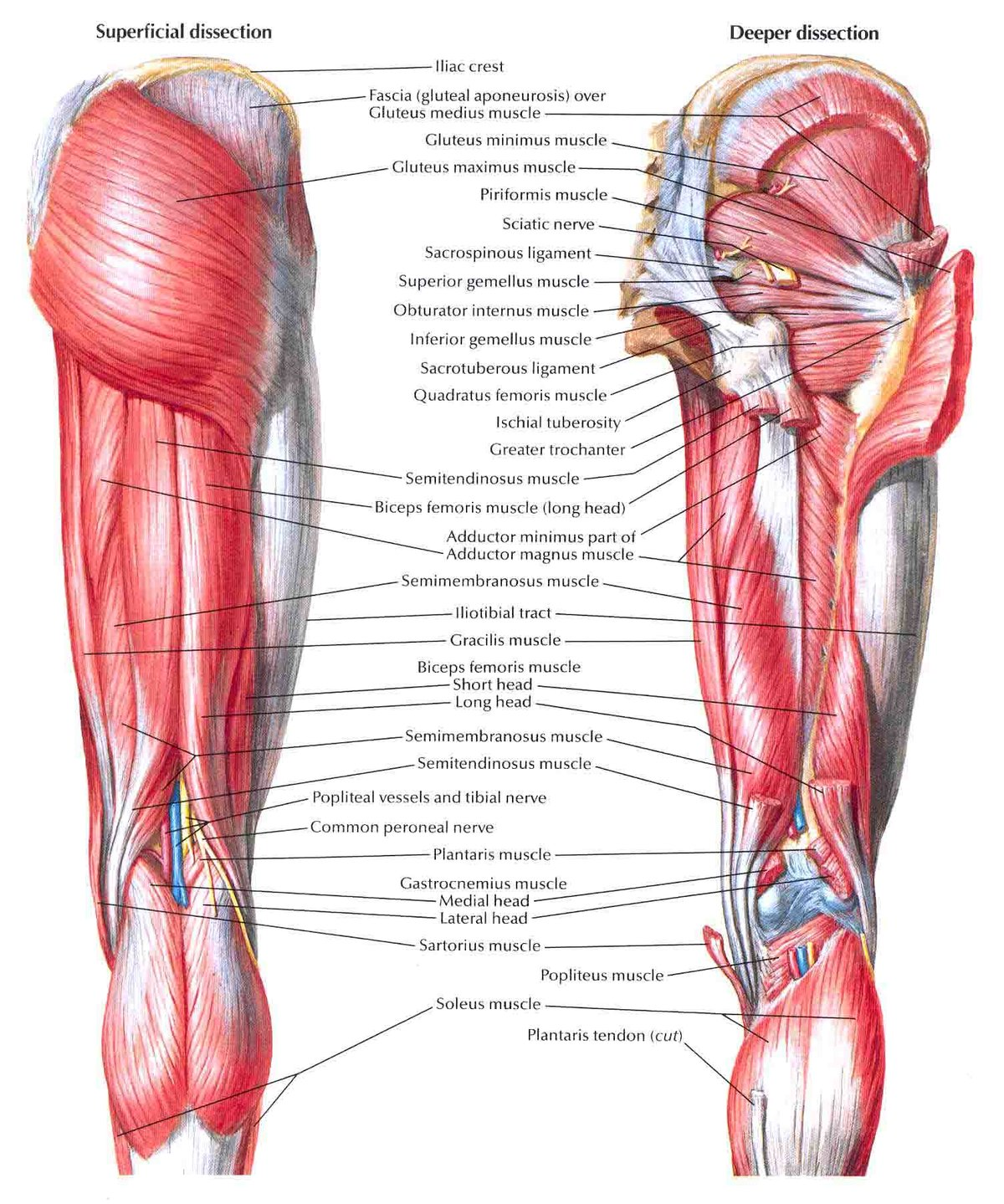 pics inner and outer thigh muscles - HD 1200×1439